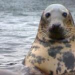 Gray-Seal-300x169