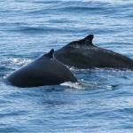 whalecalf