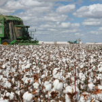 cotton-fields-16734132
